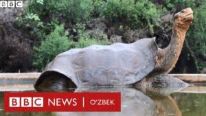 Bu 'xotinboz' toshbaqani nimaga hamma yaxshi ko'radi? Dunyo, tabiat - BBC Uzbek